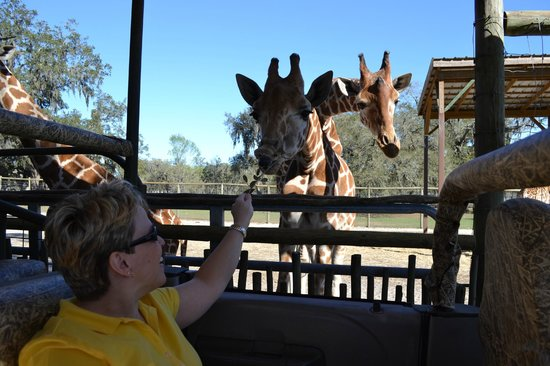 Giraffe Ranch: Giraffe interaction