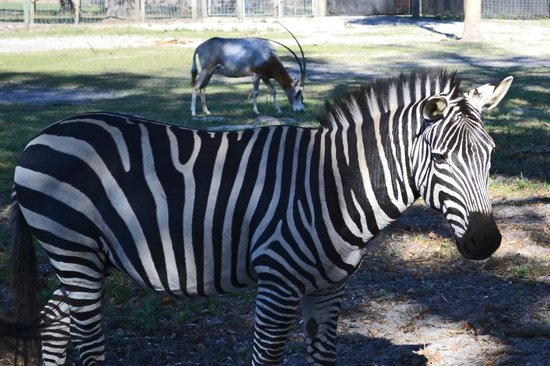 Giraffe Ranch: up close & personal with zebras