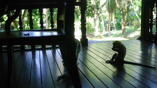 Century Langkawi Beach Resort:                   Lovely little monkey