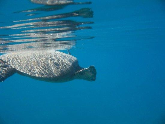 Maui Snorkel Tours:                                     glorious turtles3
