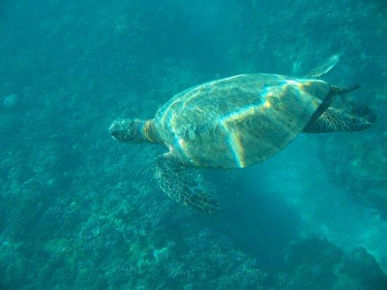 Maui Snorkel Tours:                                     glorious turtles