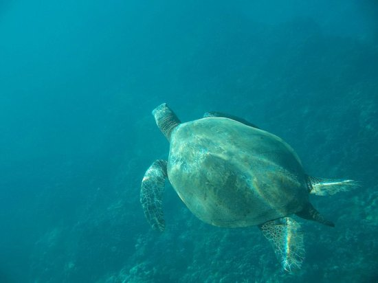 Maui Snorkel Tours:                                     glorious turtle8