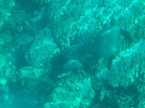 Maui Snorkel Tours:                                     glorious turtles4