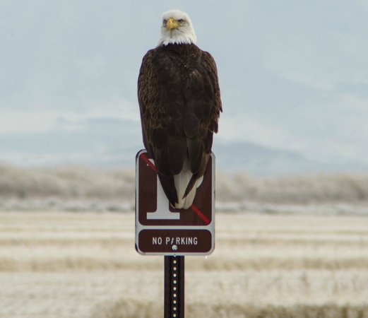 """Lower Klamath National Wildlife Refuge:                   Bald eagle on """"no parking"""" sign"""