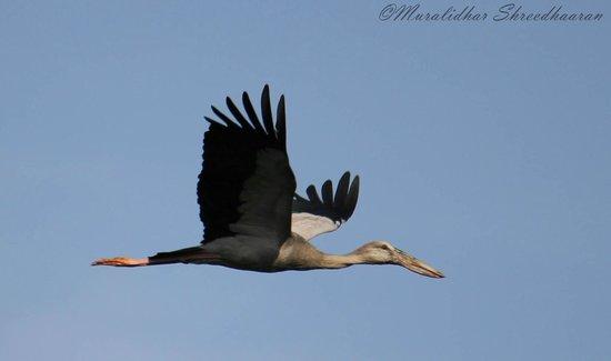 Vedanthangal Bird Sanctuary: d