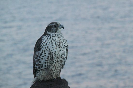South Region, Iceland:                                     Gyr Falcon seen during natural history trip with Iceland Hor