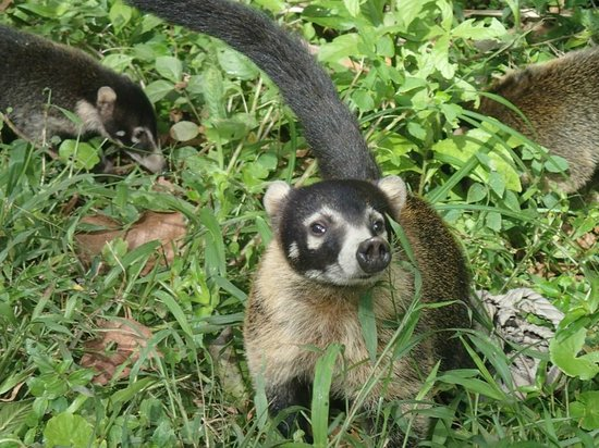 Los Lagos Hotel Spa & Resort:                   coati