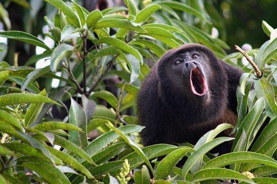 Hotel Costa Verde:                   howler monkey