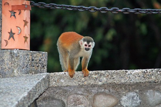 Hotel Costa Verde:                   squirrel monkey