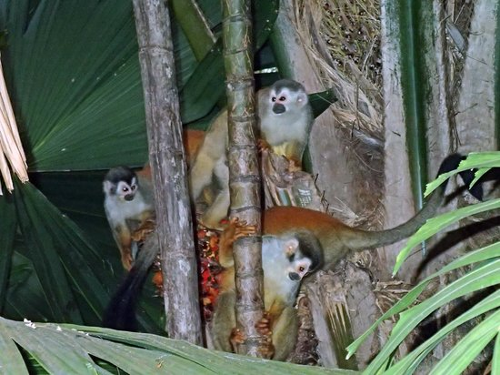 Hotel Costa Verde:                   squirrel monkeys