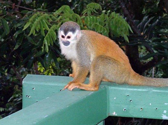 Hotel Costa Verde :                   squirrel monkey