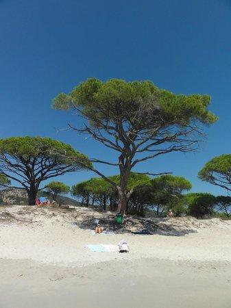 Plage de Palombaggia: Beautiful trees