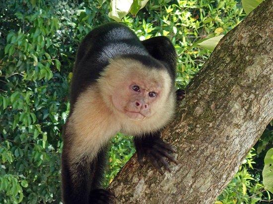Hotel Costa Verde:                   capuchin monkey