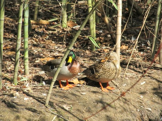 The Bog Garden at Benjamin Park : More ducks