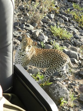 Singita Lebombo Lodge:                   Leopard on the final morning