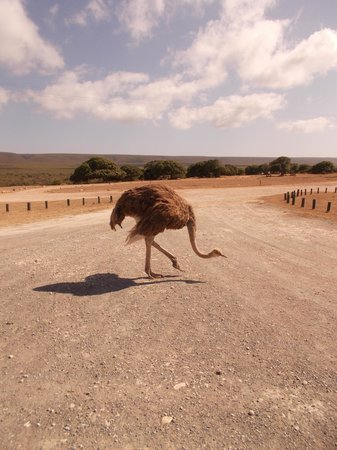 De Hoop Nature Reserve Cottages:                   Freely roaming ostrich