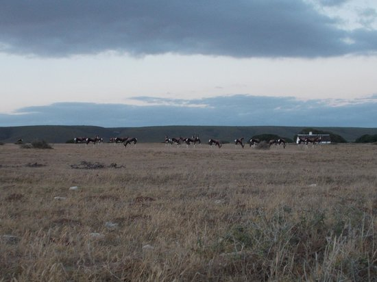 De Hoop Nature Reserve Cottages:                   A large group of Bontebok