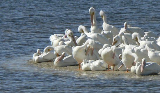 Song of the Sea:                   white pelicans in the Darling Refuge