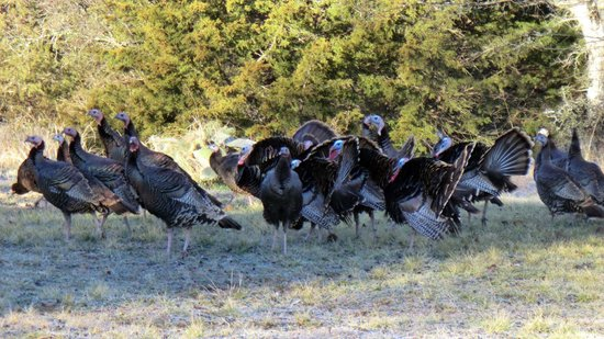 Echo Canyon Spa Resort: Wild turkeys
