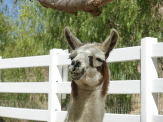 The Gentle Barn:                   Another lama view