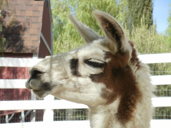 The Gentle Barn:                   The lama is here