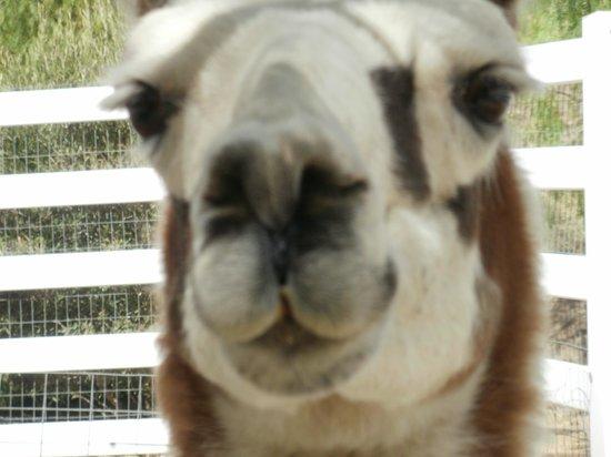 The Gentle Barn:                   Lama closeup