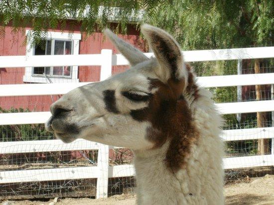 The Gentle Barn:                   I love a nice lama