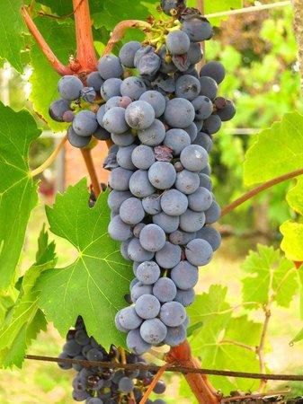 Agriturismo La Falconara:                                     grapes in the vineyard