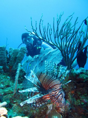 Akumal Dive:                   Lion fish! Not native to the Caribbean- very invasive species and venomous!
