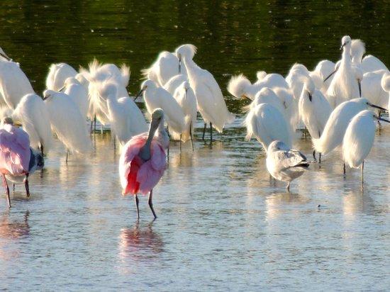 Tarpon Bay Explorers: Roseate spoonbill with egrets