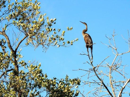 Tarpon Bay Explorers: Anhinga in tree