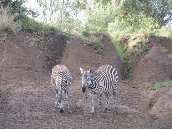 Kigio Wildlife Camp:                   Zebras we saw on our nature walk.