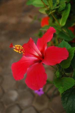 Osdahouse Home Lodge:                   Beautiful hibiscus in the surrounding gardens