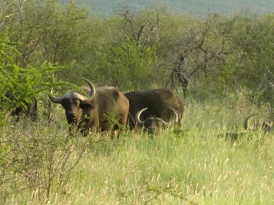 Rhulani Safari Lodge:                   Buffalo