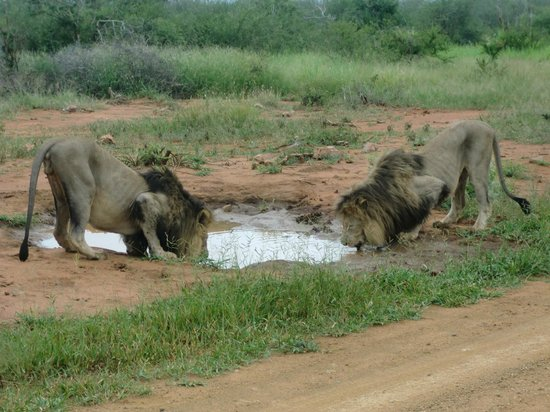 Rhulani Safari Lodge:                   Lions drinking