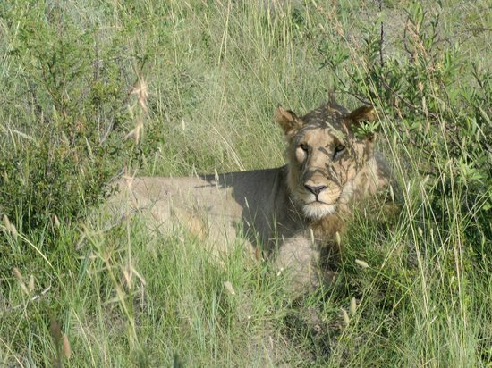 Rhulani Safari Lodge:                   Mother lion