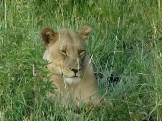 Rhulani Safari Lodge:                   Female lion
