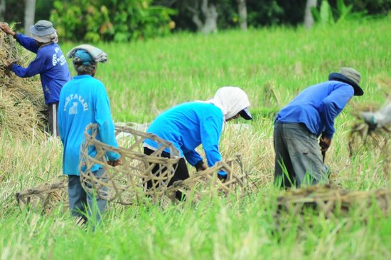 Bali Homestay: workers in the rice fields