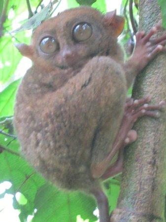 Philippine Tarsier and Wildlife Sanctuary:                   The Tarsier