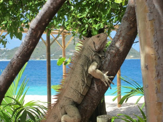 Palm Island Resort & Spa:                   George the Iguana