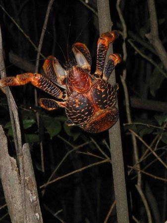 Chumbe Island Coral Park: huge coconut crab