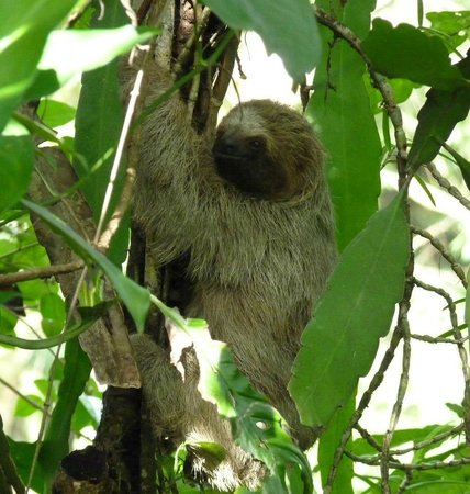 Tree Houses Hotel Costa Rica: three-toed sloth we spotted on the hotel grounds by the entrance gate