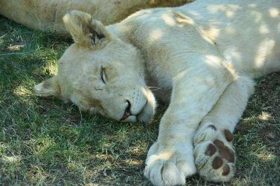 Lion and Safari Park: Many white lions.