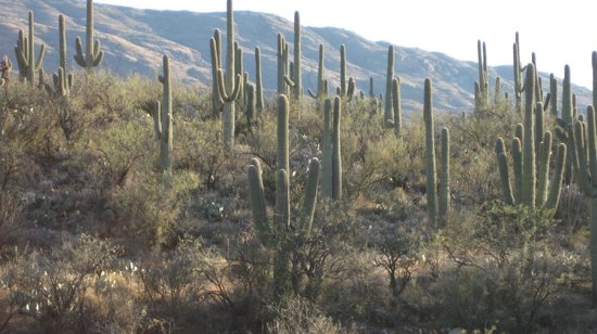 Tanque Verde Ranch:                   Saguaro cacti abound