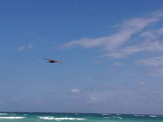 Hemingway Eco Beach Resort:                   Pelikan zieht vorbei