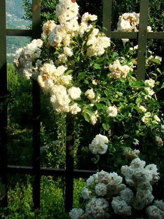 The Himalayan:                   white roses are mighty heavenly