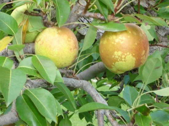 Glenoka Farm Bed and Breakfast: Glenoka farm Bosc pears