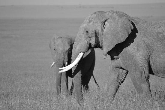 Naboisho Camp, Asilia Africa:                   elephants