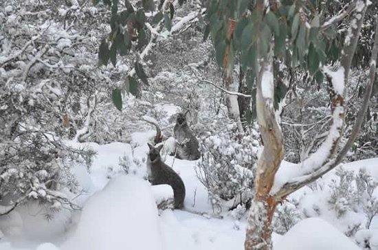 Miena, Australia: Wallabies Enjoying the fresh snow