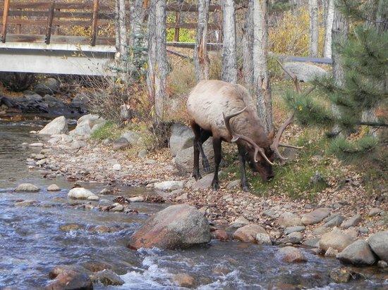 Riverview Pines: Lots of elk